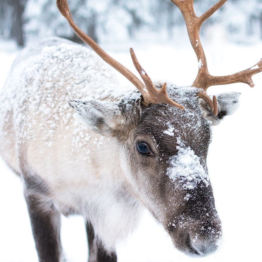 Communiqué - Les loups, boucs émissaires de l'inaction, disent Nature Québec et l'Action Boréale