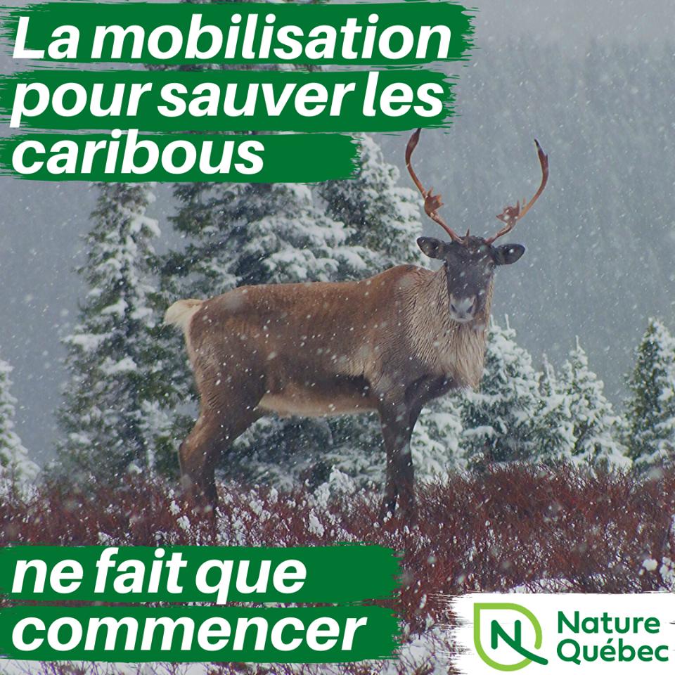 Communiqué -  Nature Québec prévient le ministre Dufour que la mobilisation pour sauver les caribous ne fait que commencer