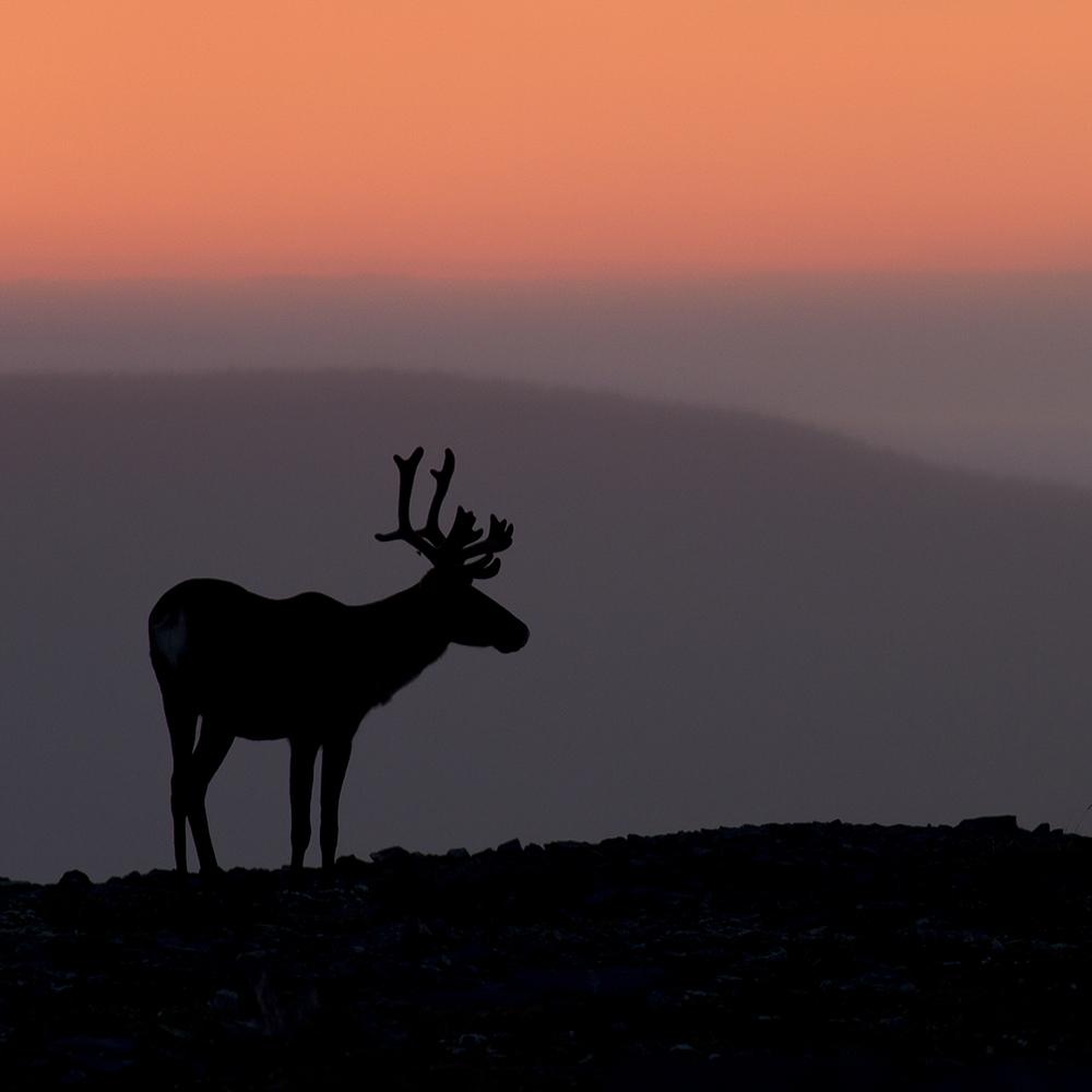 silhouette de caribou dans le crépuscule