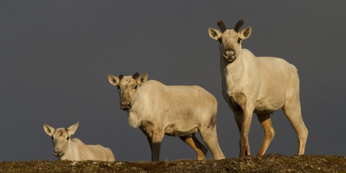 caribous femelles