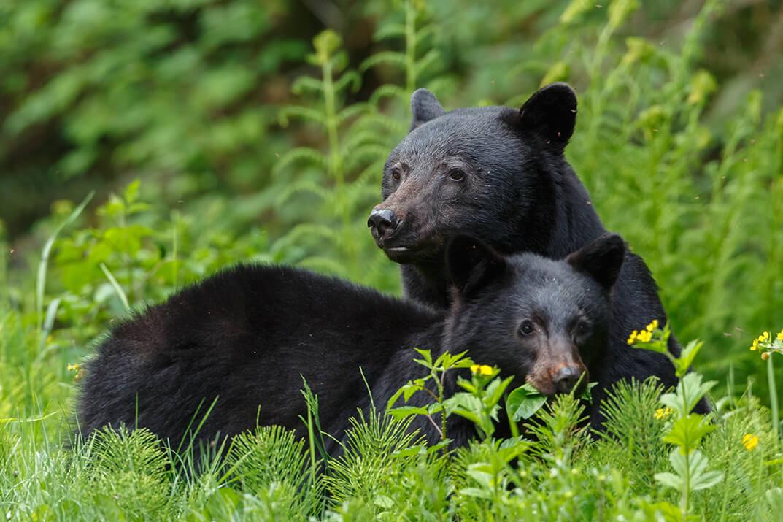 Savoirs scientifiques et innus :  3 nouvelles fiches sur l'ours noir, le tétras et la gélinotte