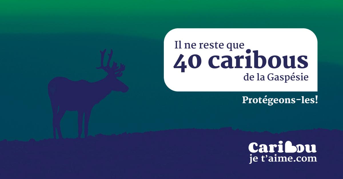 Communiqué - « Caribou, je t'aime » Conjuguer été, tourisme et protection du caribou de la Gaspésie
