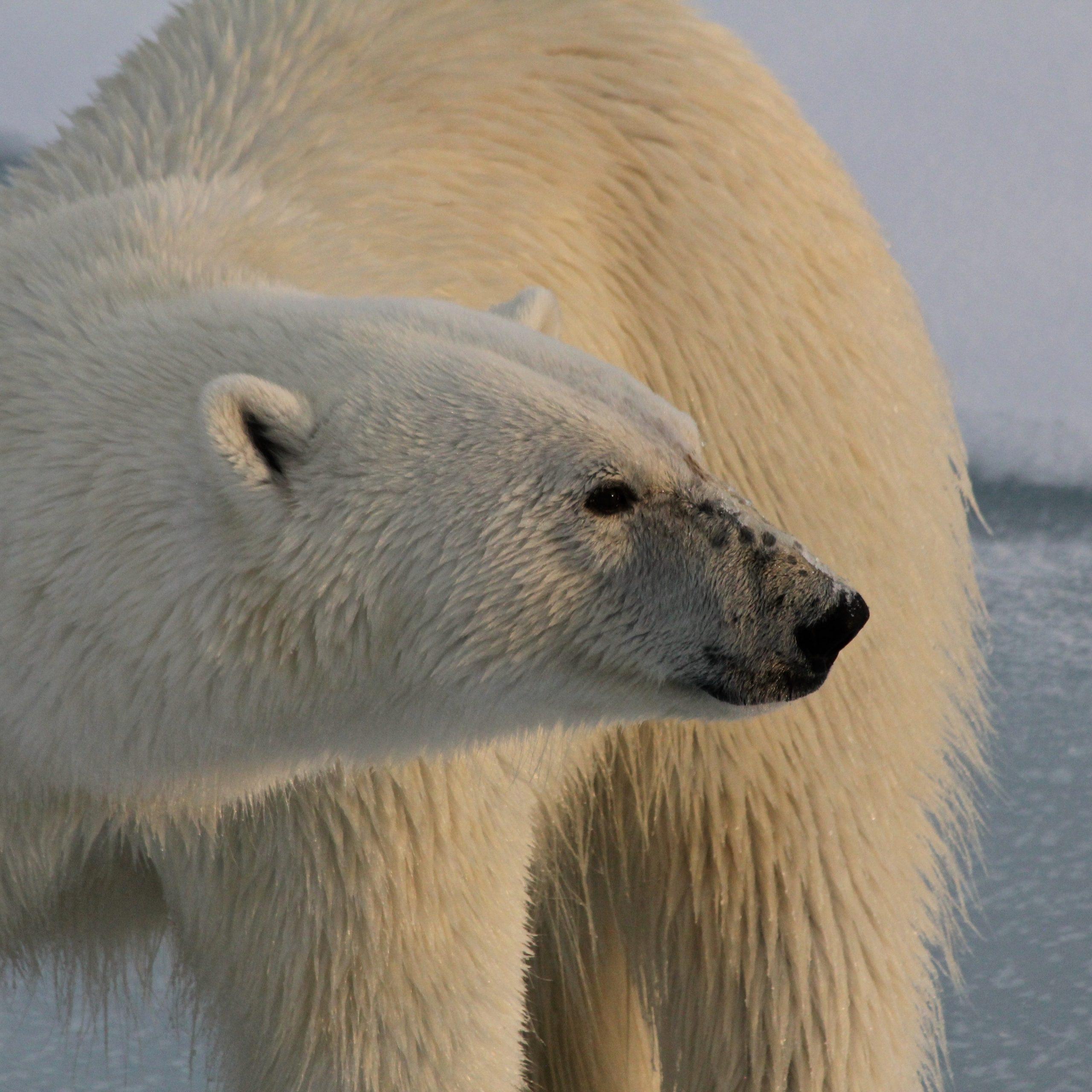 Animaux emblématiques du Canada : 5 espèces en péril
